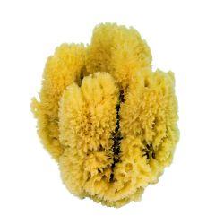 Eponge Caraibe